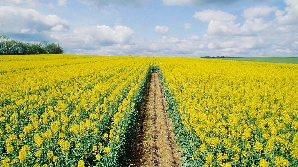 В 2021 году нарастили количество произведённого рапса псковские аграрии , фото-1